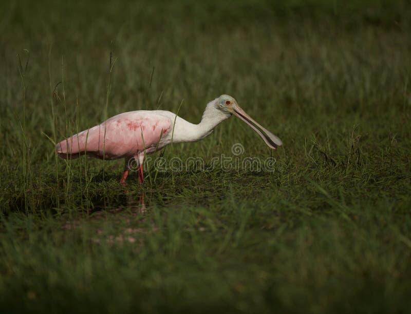 Spoonbill róseo em Tampa, Florida fotos de stock royalty free