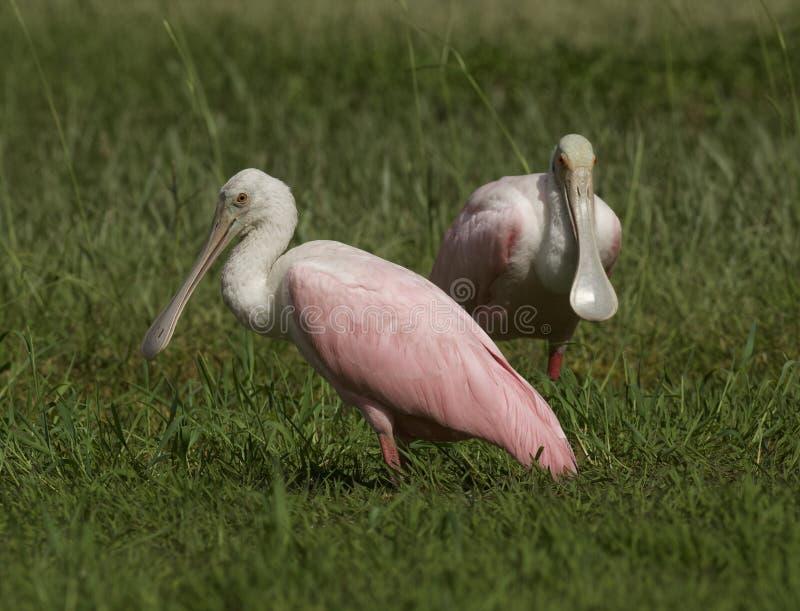 Spoonbill róseo em Tampa, Florida imagens de stock