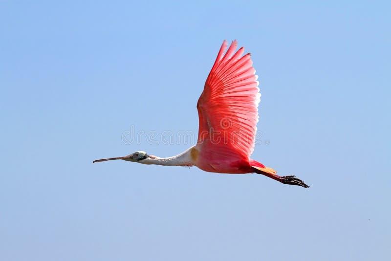 Spoonbill róseo em voo foto de stock