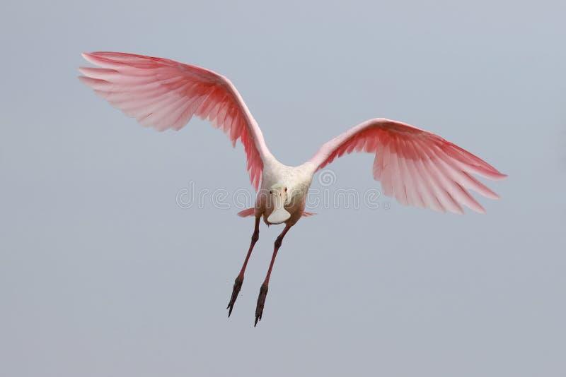 Spoonbill róseo em voo - Merritt Island Wildlife Refuge, Fl fotografia de stock royalty free