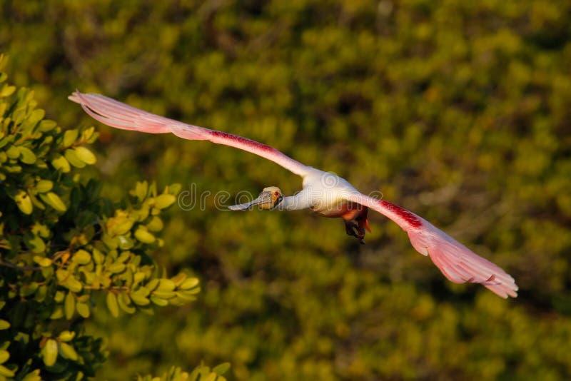 Spoonbill róseo em voo perto do ninho imagens de stock