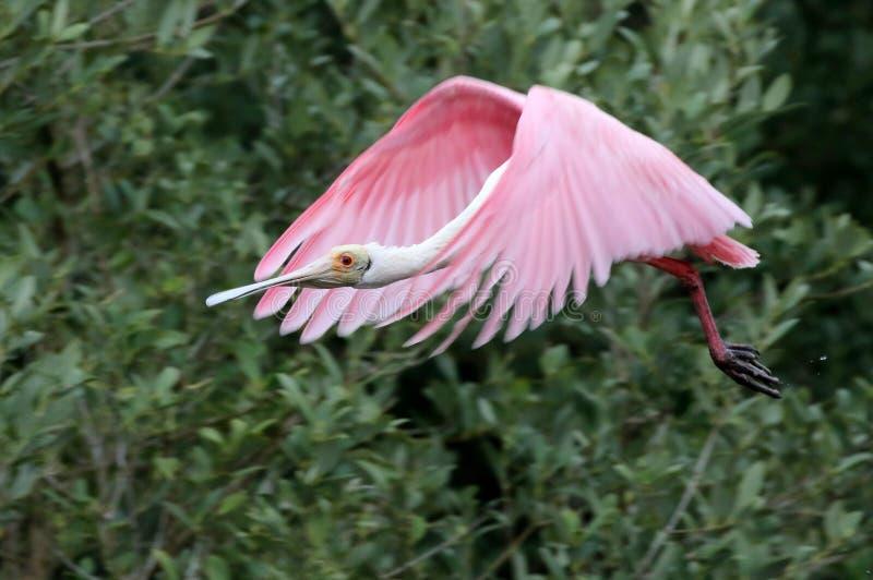 Spoonbill róseo no vôo fotos de stock royalty free