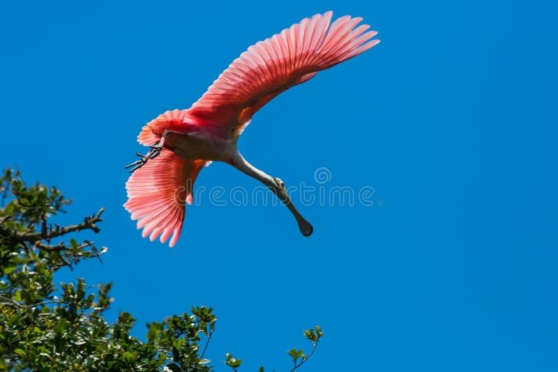Spoonbill róseo no vôo foto de stock