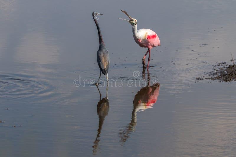 Spoonbill róseo que luta a garça-real de Tricolored, Merritt Island Nati fotografia de stock royalty free