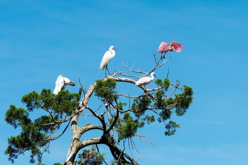 Spoonbill róseo que toma o voo fotografia de stock royalty free