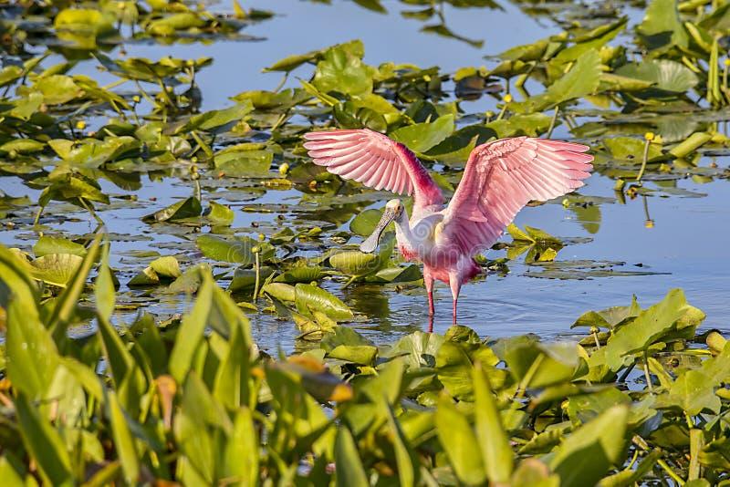 Spoonbill róseo Wing Spread foto de stock