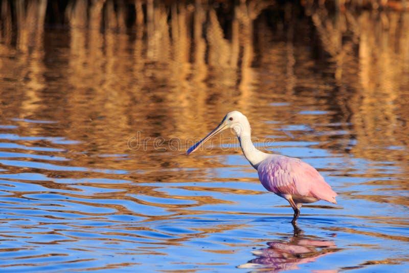 Spoonbill rosado imagenes de archivo