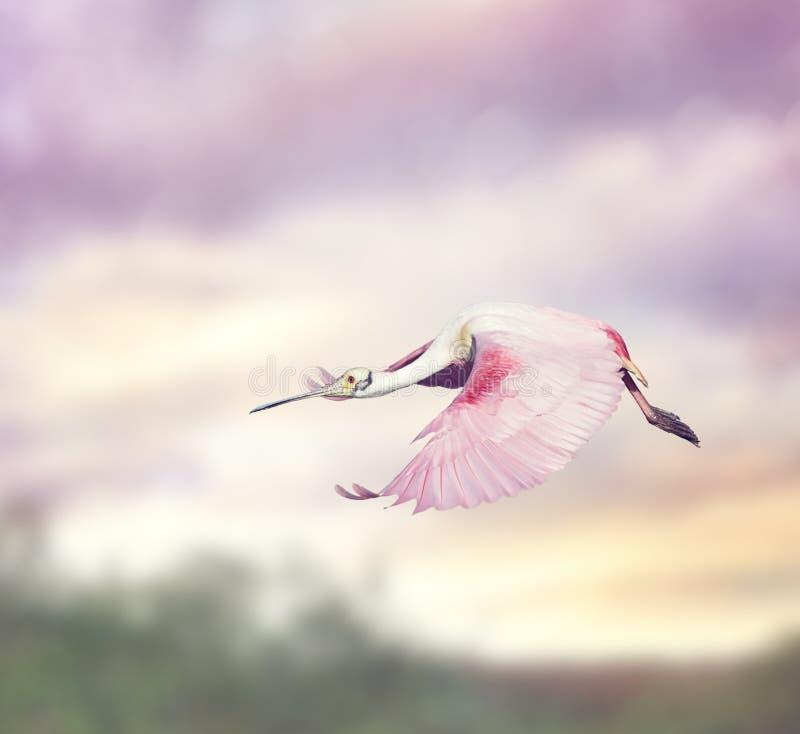 Spoonbill rosado (ajaja del platalea) imágenes de archivo libres de regalías