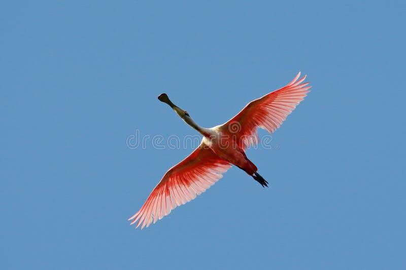 Spoonbill rosado en mosca Ajaja del Platalea del pájaro, Spoonbill rosado en el cielo azul, Pantanal, el Brasil foto de archivo libre de regalías