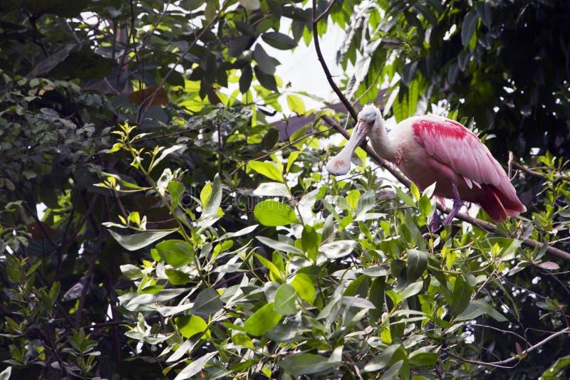 Spoonbill rosado en un árbol foto de archivo