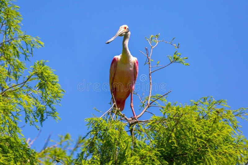 Spoonbill rosado en un árbol imagen de archivo libre de regalías