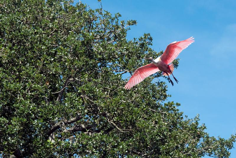 Spoonbill rosado en vuelo fotos de archivo libres de regalías
