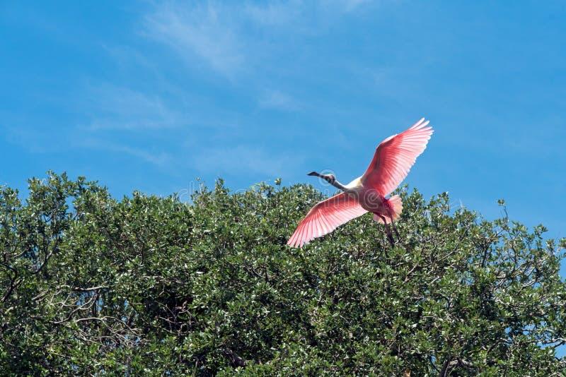 Spoonbill rosado en vuelo foto de archivo