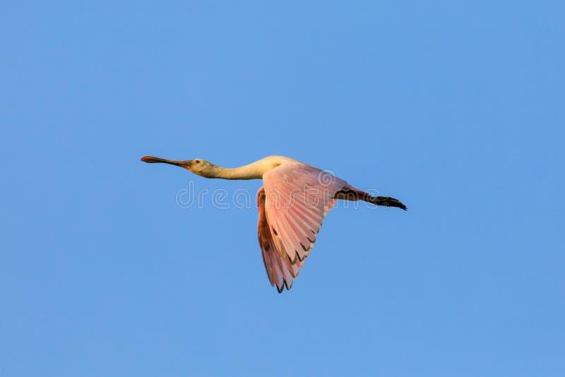 Spoonbill rosado migratorio imágenes de archivo libres de regalías