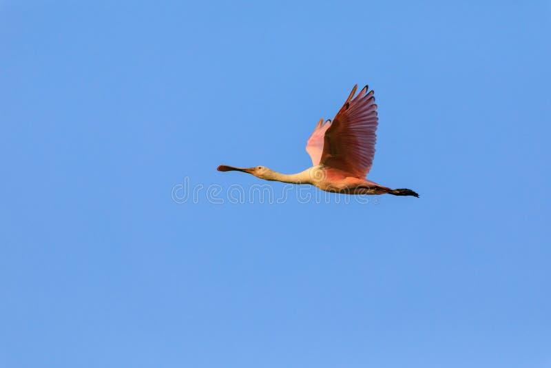 Spoonbill rosado migratorio fotos de archivo libres de regalías