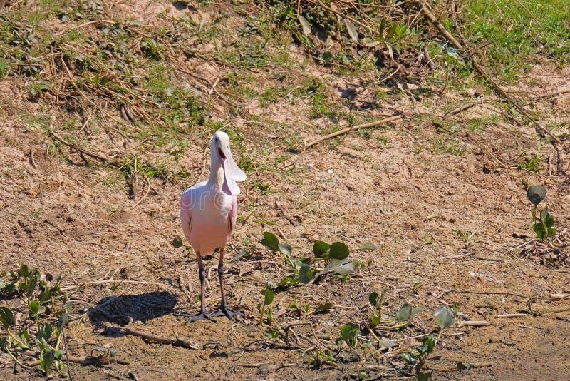 Spoonbill rosado, Platalea Ajaja, cierre del detalle encima del retrato del pájaro con la cuenta plana larga, Oporto Jofre, Panta imágenes de archivo libres de regalías