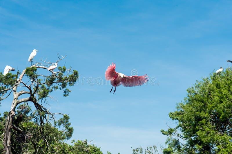 Spoonbill rosado que toma vuelo imagen de archivo libre de regalías