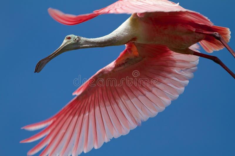 Spoonbill roseo fotografie stock