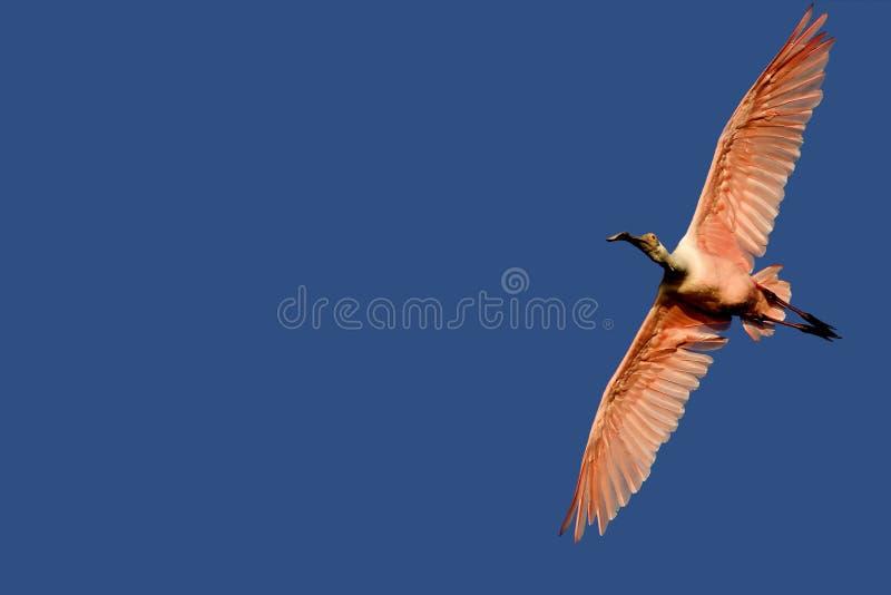 Spoonbill roseo durante il volo fotografia stock libera da diritti