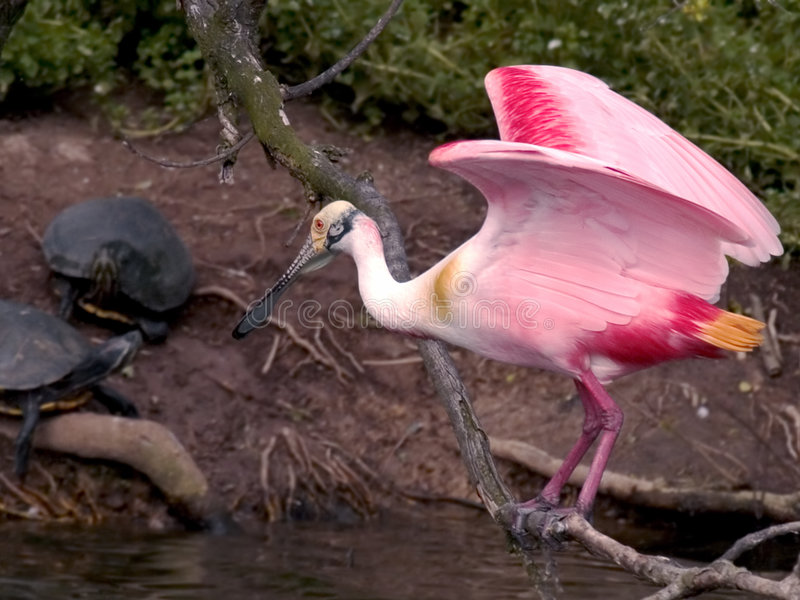 Download Spoonbill And Sliders Stock Photos - Image: 213023
