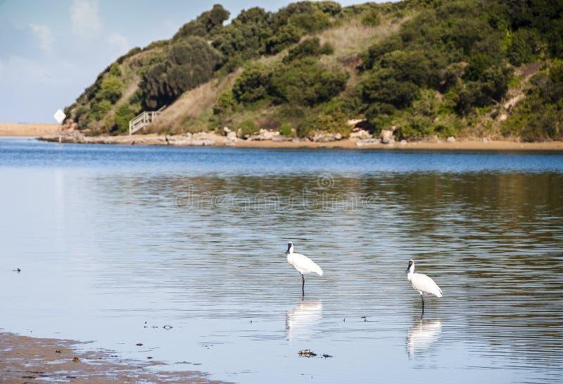 Spoonbills in dem Fluss stockbild