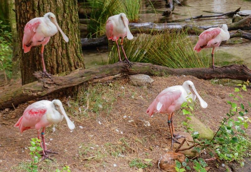 Spoonbills en el reino animal, WDW fotos de archivo