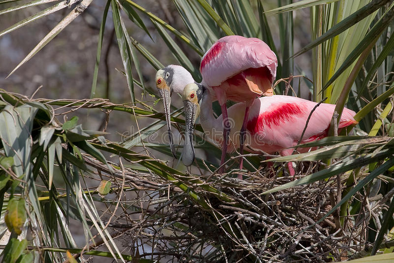 Spoonbills róseos imagem de stock
