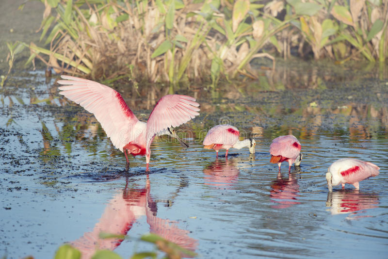 Spoonbills róseos imagens de stock royalty free