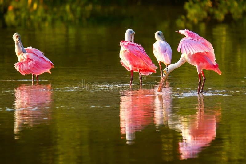 Spoonbills róseos (ajaja do Platalea) imagens de stock royalty free