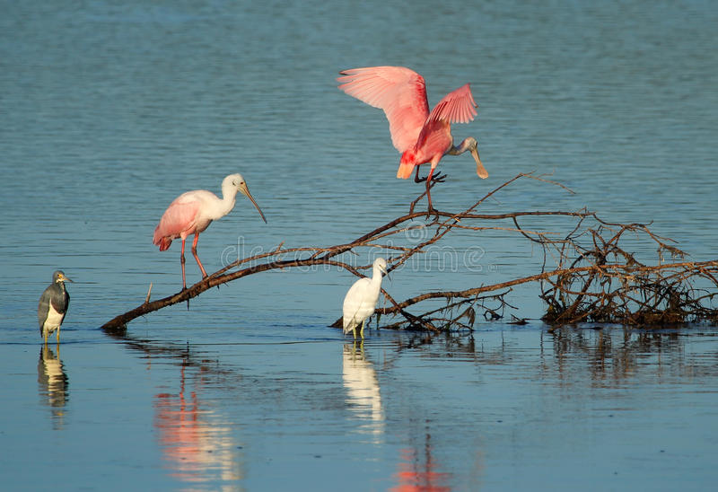 Spoonbills róseos em Ding Darling National Wildlife Refuge fotos de stock royalty free
