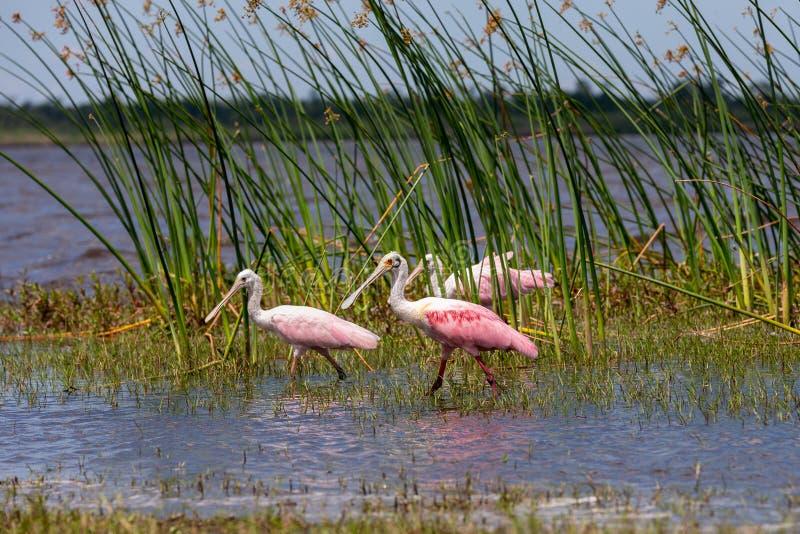 Spoonbills róseos na costa de Florida foto de stock royalty free