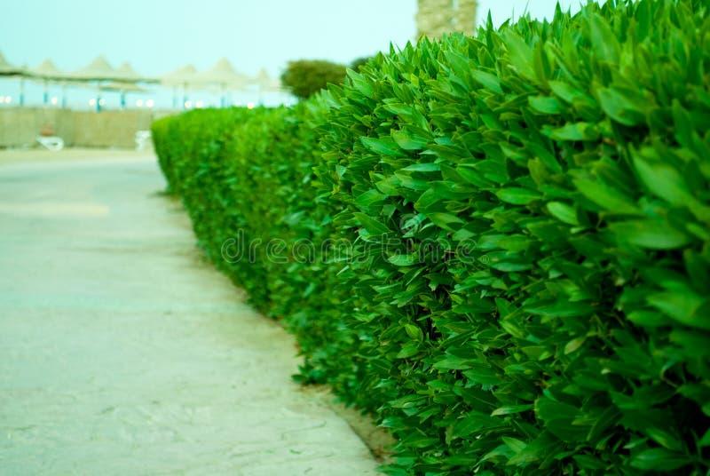 Spoor van de Buxus het groene struik om strand te schuren Groene pensionair van steenspoor Buxus op de weg aan overzees stock fotografie
