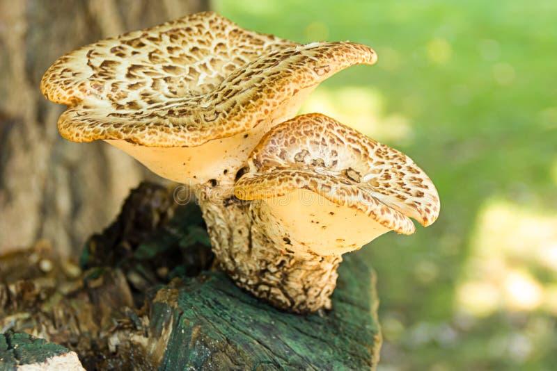 Spor för växt för par för bred hatt för Chaga champinjon som vita bruna växer på gammalt ridit ut stubbesolljus royaltyfri fotografi