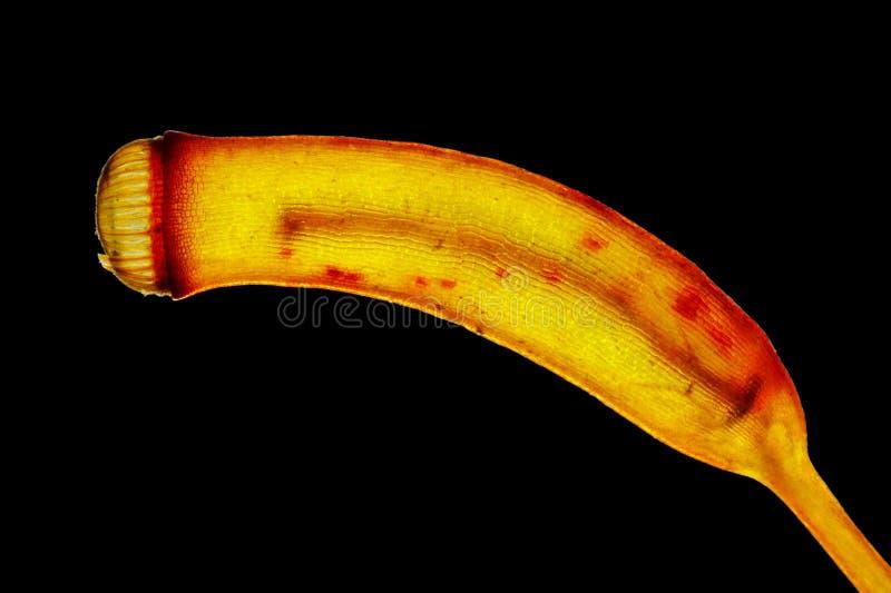 Sporangium mûr de mousse dans la lumière polarisée images stock