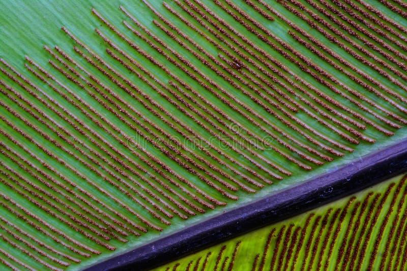 Spore van varenblad stock foto
