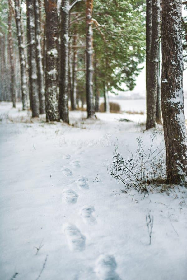 Sporen op de sneeuw in het pijnboombos stock fotografie