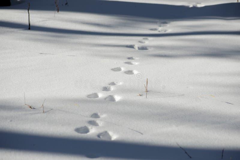 Sporen van een haas in het bos op de sneeuw royalty-vrije stock afbeelding