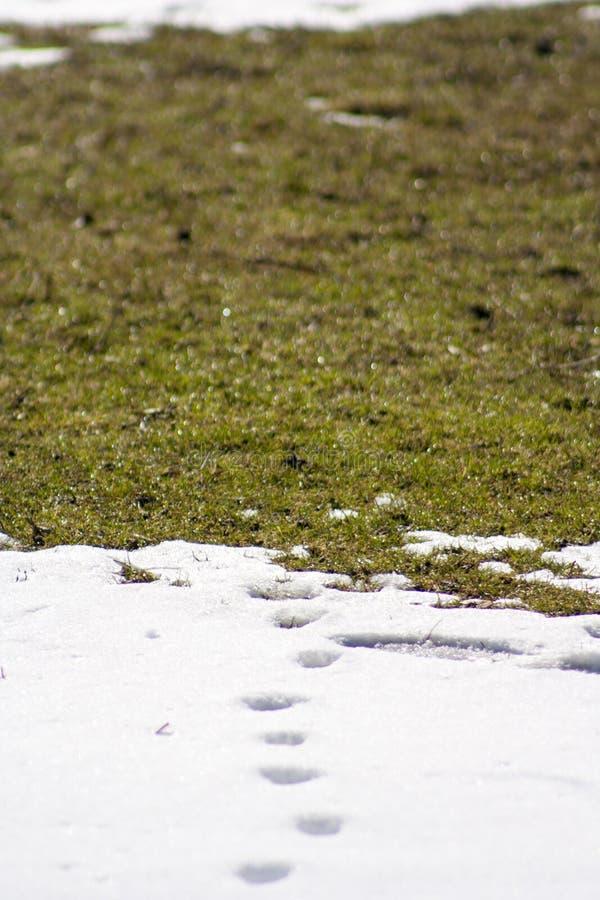 Sporen van kat en hond op de sneeuw stock afbeeldingen