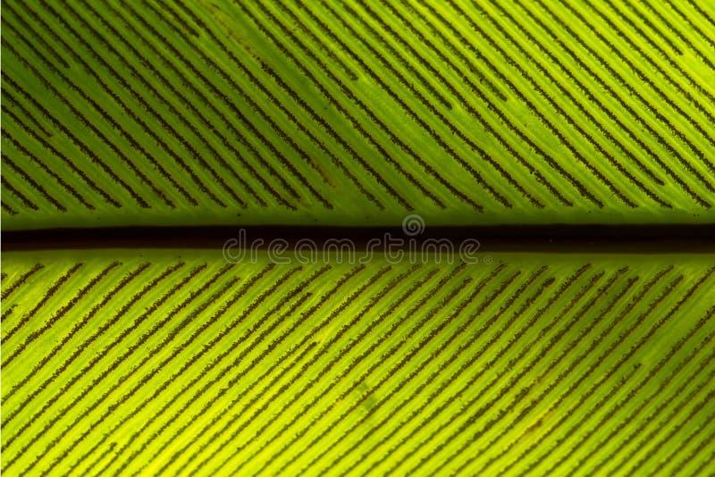 Spores de feuille de fougère de nid de l'oiseau s photo stock