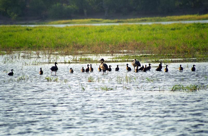 Sporngänse, Nationalpark Chobe, Botswana lizenzfreies stockbild