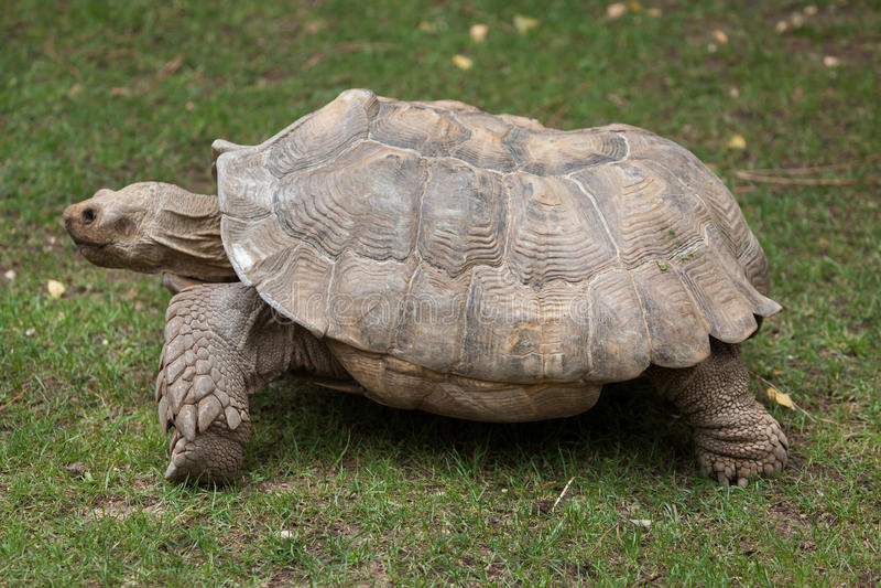 Spornschildkröte Centrochelys-sulcata stockfotos