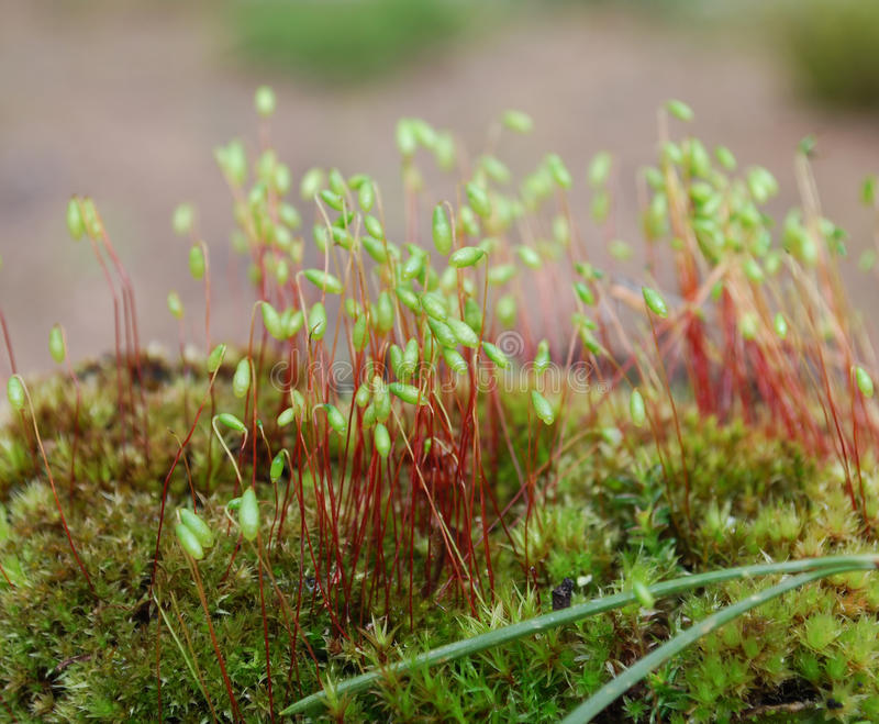 Sporophyte van Capillair draad-Mos (Bryum capillare) stock afbeelding