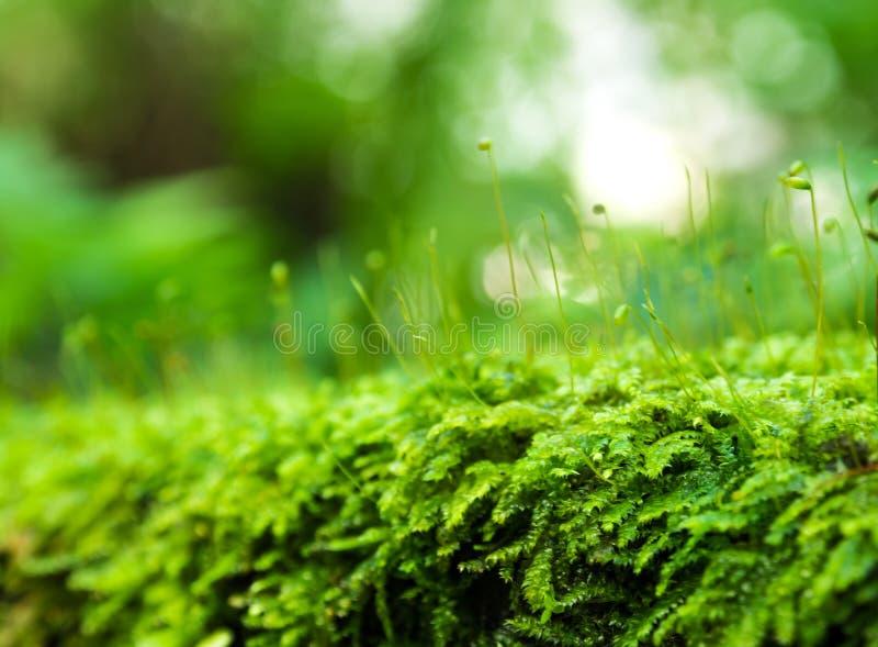Sporophyte van versheids groen mos met waterdalingen die in t groeien royalty-vrije stock foto's