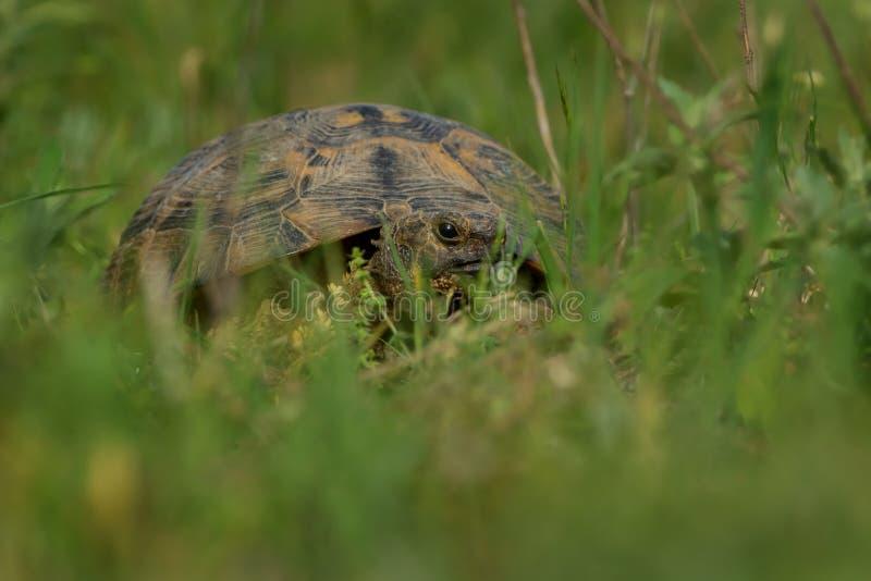 Sporra-thighed sköldpaddan - Testudograeca royaltyfri bild