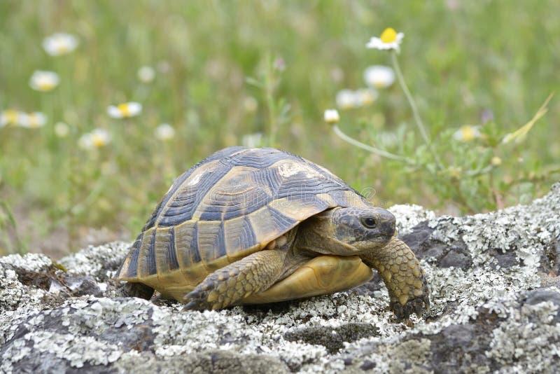 Sporra-thighedsköldpaddan eller graeca för greksköldpaddaTestudo i naturlig livsmiljö royaltyfria foton