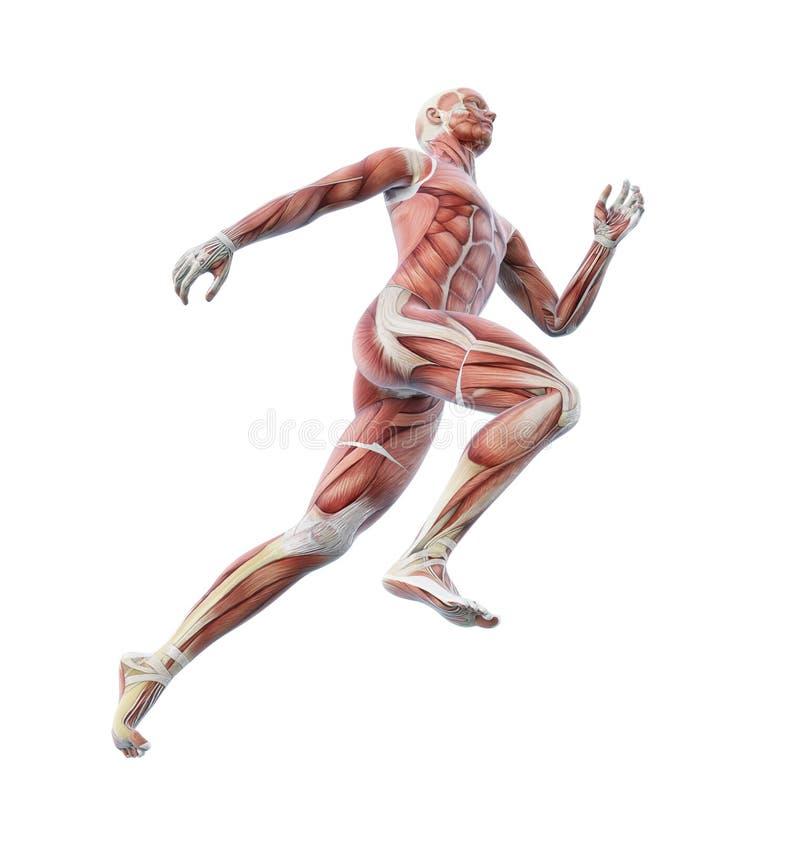 Sport anatomia - biegacz ilustracji