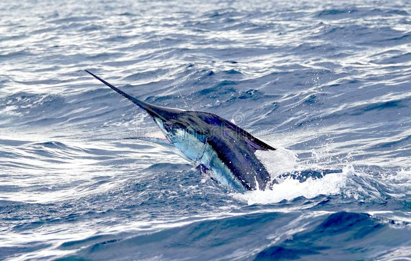 Big marlin fish breaching out of the water. Sport-fishing. Sport fishing in Costa Rica fishing for marlin. Angry hooked fish fighting, fish was released royalty free stock photos