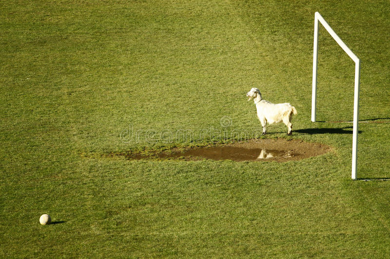 Download Sport Funny Photo Of A Goat Goalkeeper Stock Image - Image: 12395057