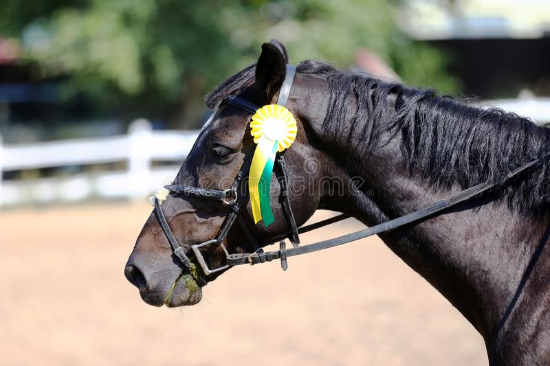 Sport horse head portrait closeup under saddle during competition outdoors royalty free stock photography