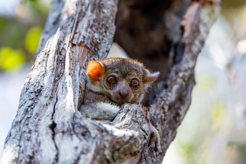 Sportieve maki, het wild van Madagascar stock afbeelding
